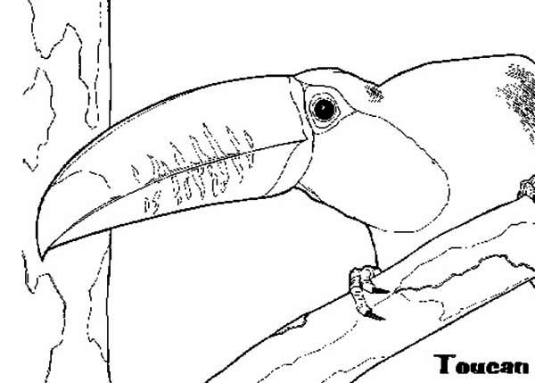 Toucan, : Toucan Sneaking Coloring Page