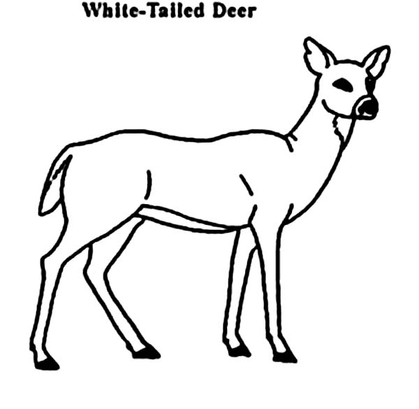 Deer, : White Tailed Deer Coloring Page