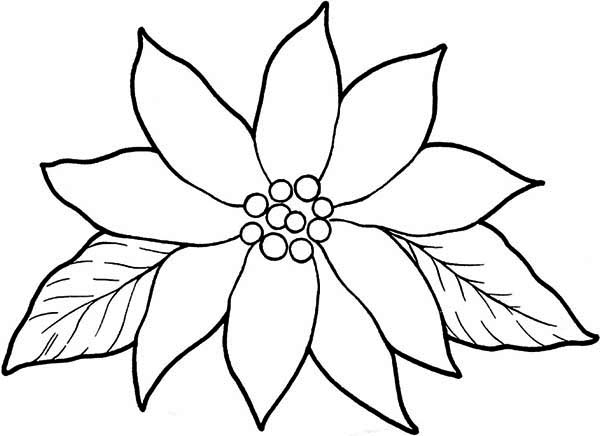 Poinsettia Day, : Blooming Poinsettia for Poinsettia Day Coloring Page