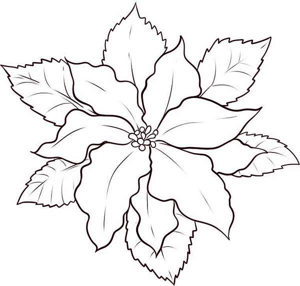 Poinsettia Day, : How to Draw Poinsettia for Poinsettia Day Coloring Page
