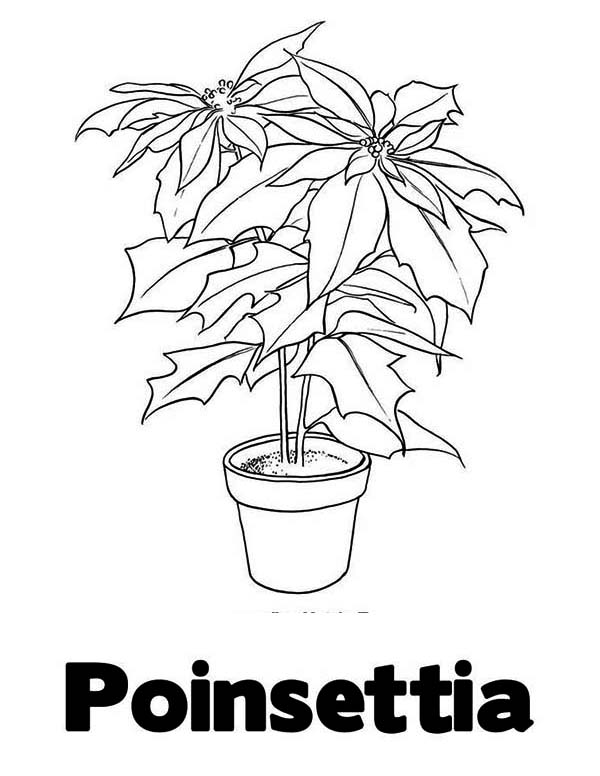 Poinsettia Day, : Letter P is for Poinsettia for Poinsettia Day Coloring Page