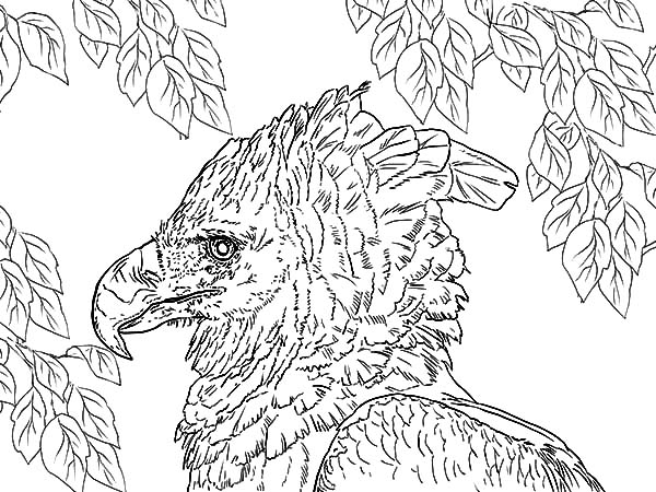 Harpy Eagle, : Drawing Harpy Eagle Coloring Pages