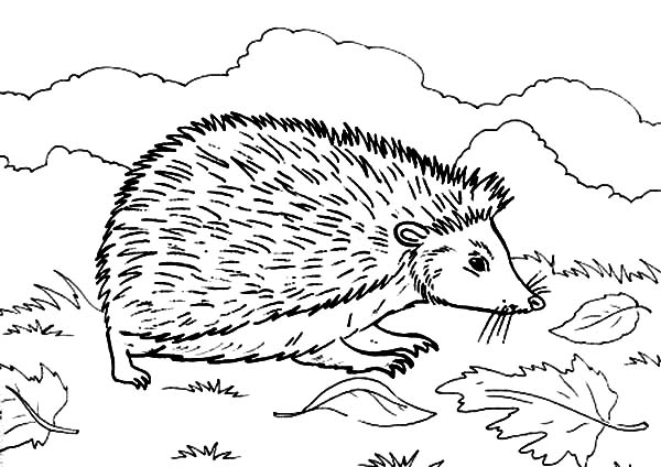 Hedgehog, : Hedgehog on the Meadow Coloring Pages