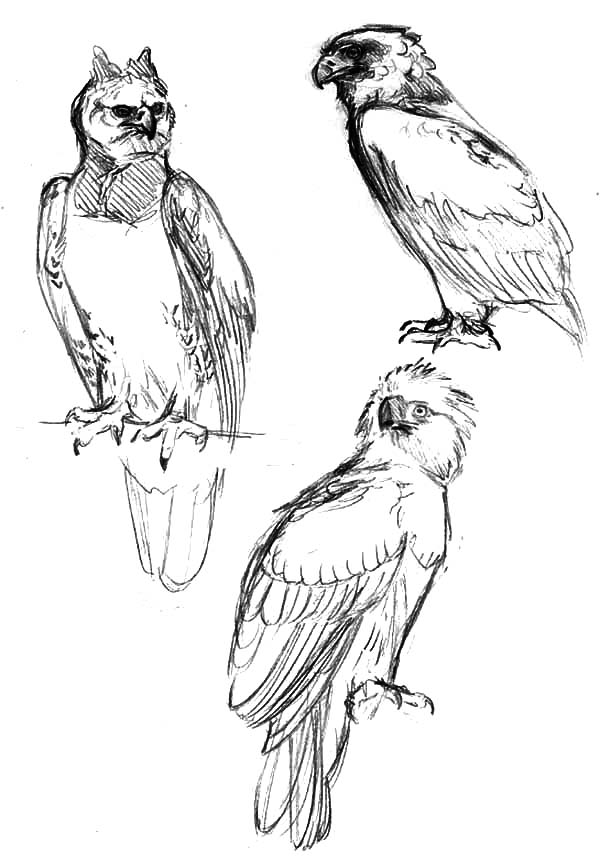 Harpy Eagle, : Sketching Harpy Eagle Coloring Pages