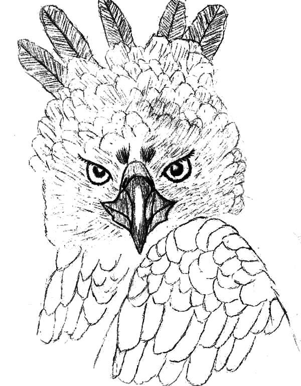 Harpy Eagle, : Unique Head Feather of Harpy Eagle Coloring Pages