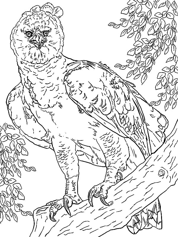 Harpy Eagle, : Wildlife of Harpy Eagle Coloring Pages